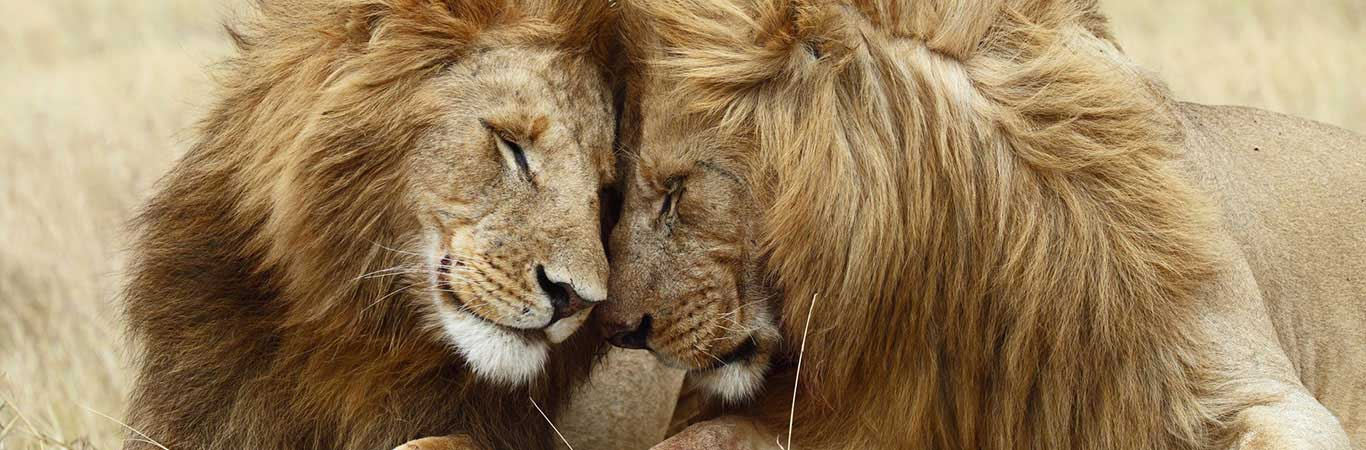 Two-lions-rubbing-noses