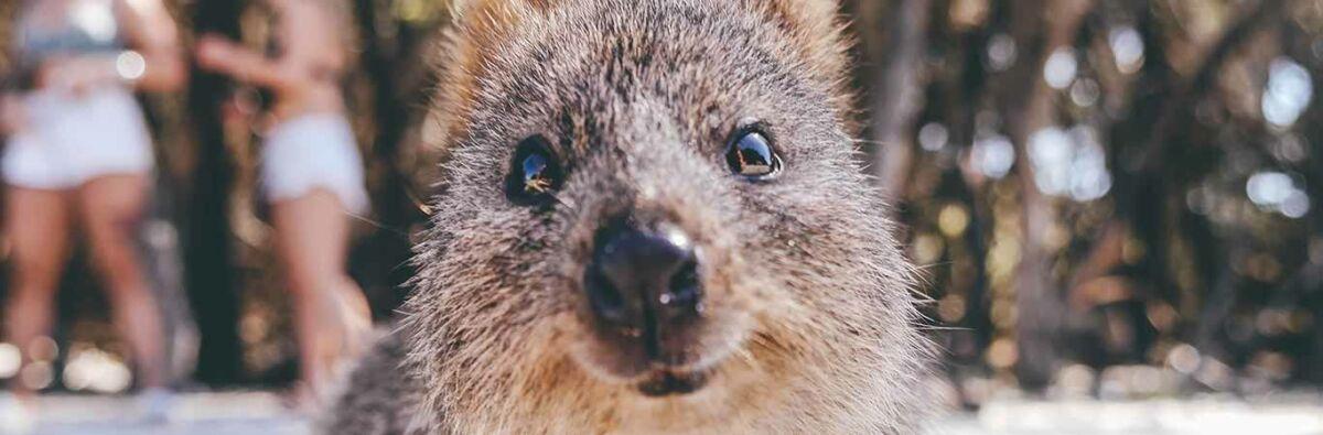 adorable quokka selfie