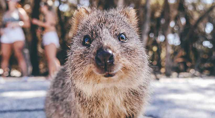 rottnest island perth adorable quokka selfie
